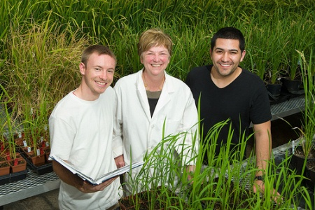 Jan Leach, University Distinguished Professor of plant pathology, works in her Colorado State University greenhouse with students Paul Langlois, left, and Rene Corral. They are surrounded by different varieties of rice plants, which the team grows and evaluates for resistance to blight disease and other traits.