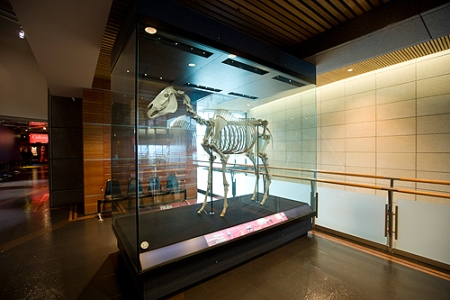 Phar Lap's skeleton in the Museum of New Zealand Te Papa Tongarewa. Scientists are hoping to sequence its DNA. [Image: Michael Hall, courtesy of the Museum of New Zealand Te Papa Tongarewa]
