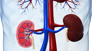 Drawing of kidneys with image on the left depicting a cross section of one kidney