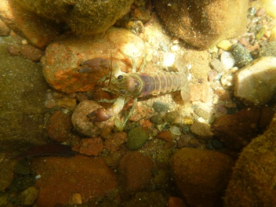 The numbers of rusty crayfish, an invasive species blamed for decimating fish, insect and plant communities in Sparkling Lake, have dropped dramatically since a UW-Madison experiment concluded